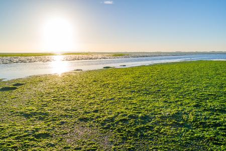 seaweeds: Sunrise over sea lettuce field on saltwater tidal flats at low tide of Waddensea, Netherlands