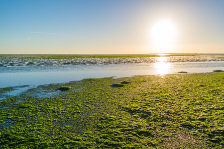Sunrise over sea lettuce field on saltwater tidal flats at low tide of Waddensea, Netherlands