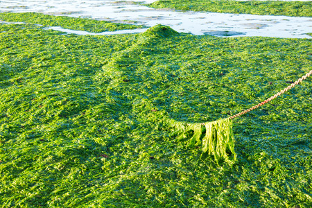 seaweeds: Anchor chain covered with sea lettuce on saltwater tidal flats at low tide of Waddensea, Netherlands