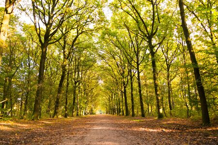 Dirt road covered with fallen leaves and tree trunks on a sunny day in autumn, 's Graveland, Netherlands