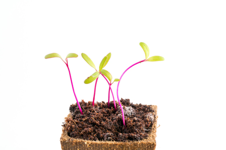turba: Young fresh seedlings of beetroot or red beet in peat pot on white background Foto de archivo