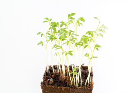 turba: Plántulas frescas jóvenes de jardín de agrio en maceta de turba sobre fondo blanco Foto de archivo