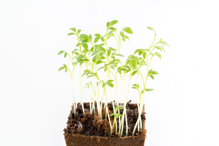 Young fresh seedlings of garden cress in peat pot on white background