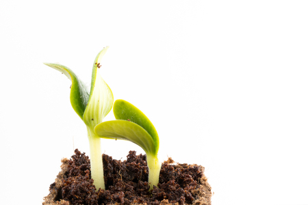 peat pot: Young fresh seedlings of courgette or zucchini in peat pot on white background