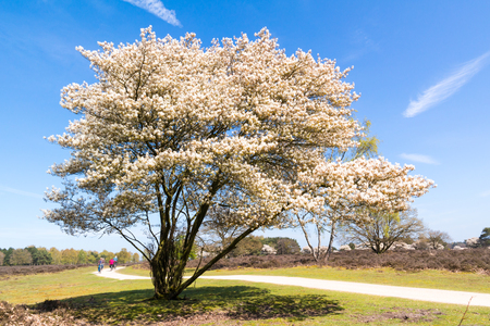 Heathland with blooming Amelanchier lamarkii tree and bicyclists on cycle path, Hilversum, Netherlands