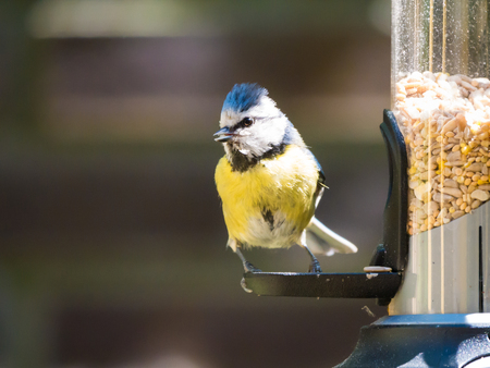 Portrait of adult blue tit, Cyanistes caeruleus,  sitting and looking before eating from tube birdfeeder with seeds