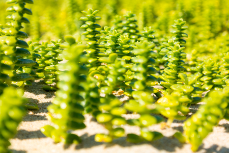 swampland: Close-up with shallow depth of field of sand seawort, Honckenya, growing on beach