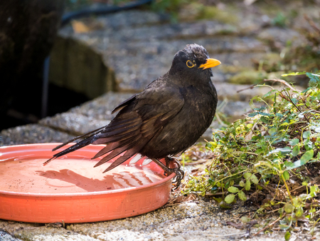 edge: Portrait of wet male adult common blackbird, Turdus merula, sitting on edge of water bowl after taking a bath Stock Photo