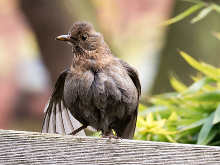 wash: Portrait of female adult common blackbird, Turdus merula, sitting and drying feathers of wings after a bath