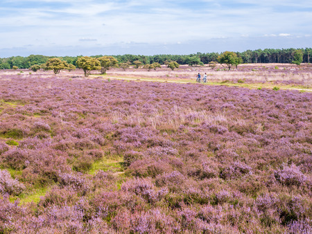 People riding bicycle on path and panorama of purple heather in bloom in nature reserve Zuiderheide near Hilversum, Gooi, Netherlands
