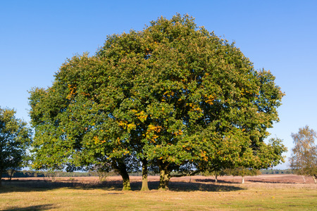 Common oak, Quercus robur, in autumn in the Netherlands