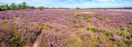 Panorama of purple blooming heath landscape in summer in nature reserve in Gooi between Hilversum and Laren, Noord-Holland, Netherlands Stock Photo