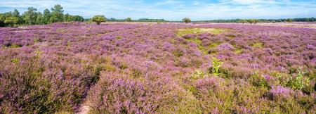 Panorama van paars bloeiend heidelandschap in de zomer in natuurgebied in het Gooi tussen Hilversum en Laren, Noord-Holland, Nederland Stockfoto
