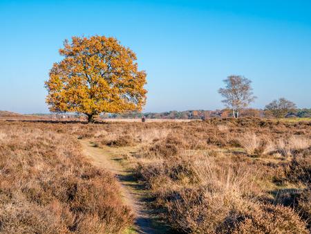 People walking and autumn oak tree in heathland nature reserve Zuiderheide, Laren, het Gooi, Netherlands