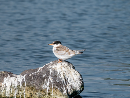 Common tern, Sterna hirundo, juvenile standing on rock in water, De Kreupel, Netherlands