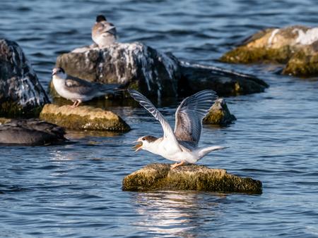 Common tern, Sterna hirundo, juvenile with fish in beak standing on rock in water, De Kreupel, Netherlands