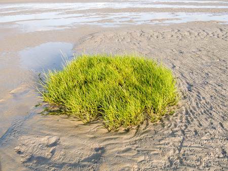 Sandflat at low tide with sod of common cordgrass, Spartina anglica, Wadden Sea, Netherlands Stock Photo