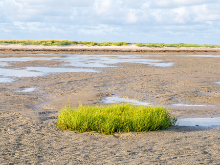 Sod of common cordgrass, Spartina anglica, growing on tidal flat near beach of nature reserve Boschplaat, Terschelling, Netherlands