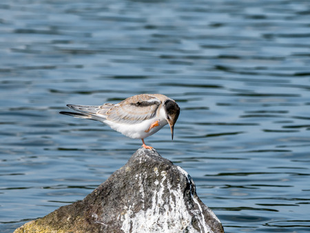 Common tern, Sterna hirundo, juvenile scratching itself on rock in water, De Kreupel, Netherlands