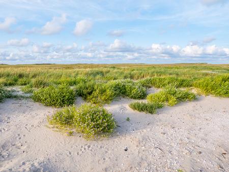 European searocket, Cakile maritima, growing on beach and salt marshes in nature reserve Boschplaat on Frisian island Terschelling, Netherlands