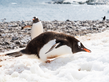 Gentoo penguin, Pygoscelis papua, eating snow on  beach of Cuverville Island, Antarctic Peninsula, Antarctica