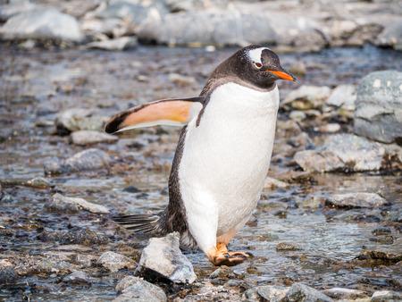 Gentoo penguin, Pygoscelis papua, waddling on pebble beach of Cuverville Island, Antarctic Peninsula, Antarctica Stock Photo - 117531658