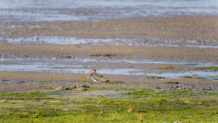 Portrait of a northern lapwing, vanellus vanellus, standing on wetland at low tide of Waddensea, Netherlands Stock Photo