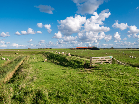 Polder landscape with grazing sheep, dike, grassland and farmhouse on West Frisian island Texel, Noord-Holland, Netherlands Editorial
