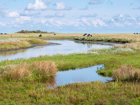 Kanał i pasące się krowy w słonych bagnach w pobliżu Kobbeduinen na Fryzyjskiej wyspie Schiermonnikoog, Holandia