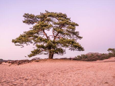 Solitary Scots pine tree, Pinus sylvestris, in sand dunes of heathland at dusk, Goois Nature Reserve, Netherlands