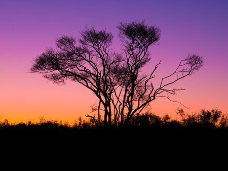 Silhouette of bald juneberry, Amelancier lamarckii, tree in winter against sky at twilight, Netherlands