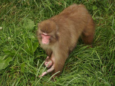 macaque monkey 版權商用圖片