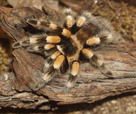 hairy legs: tarantula