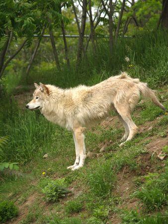 arctic wolf         Reklamní fotografie