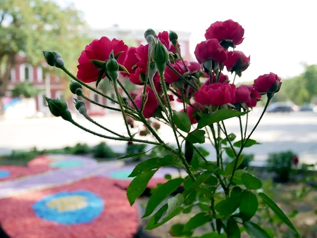 blooming red roses in a city park Stock Photo