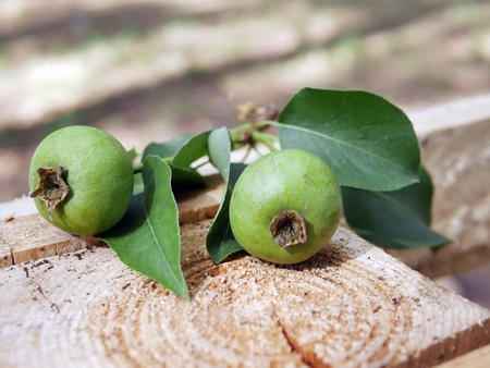 Two green unripe pears, green leaves against the background of a buffy cut of a tree