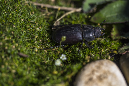 Black beetle on the green grass in nature, the rhinoceros beetle (Dynastinae)