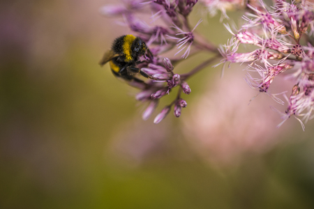 Bumblebee on a pink flower in nature