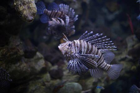 Lionfish. Selective focus. Stock Photo