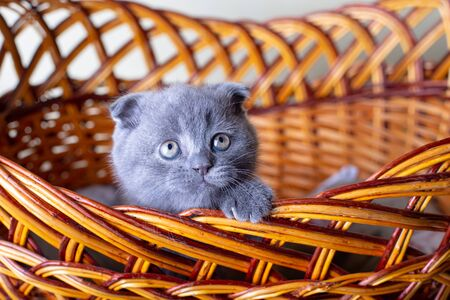 Scottish (British) lop-eared kitten. Portrait of a baby, cute scottish fold. Sits in a large basket alone. Color gray. Close-up, selective focus.