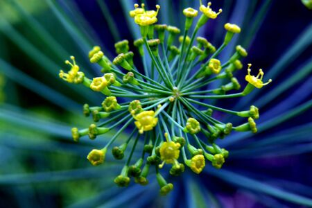 blooming dill flower in close proximity