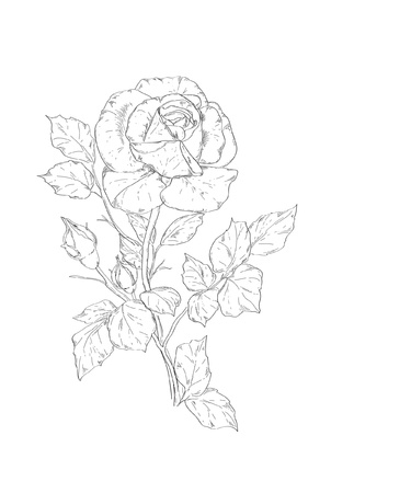 kézzel rajzolt rose vektoros illusztráció Illusztráció