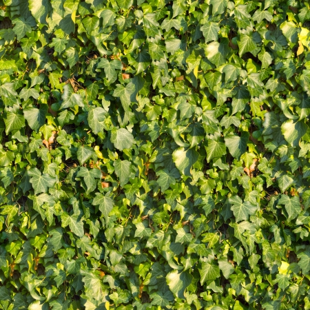 Ivy Seamless Tileable Texture  photo
