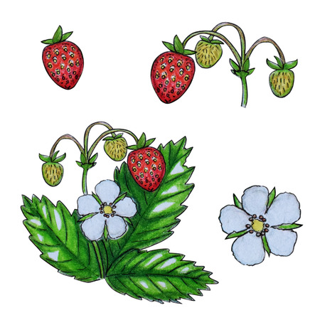 Hand painted watercolor set of berries. Strawberry, flowers and leaves isolated on a white background. Perfect for design, banners, card, textile