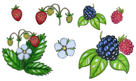 Hand painted watercolor set of berries. Strawberry, blackberry, flowers and leaves isolated on a white background. Perfect for design, banners, card, textile Stock Photo