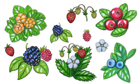 Hand painted watercolor set of berries. Ð¡loudberry, blueberry, flowers and leaves isolated on a white background. Perfect for design, banners, card, textile