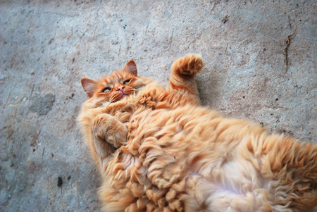 curiosity: red fat cat lying on his back on the pavement Stock Photo