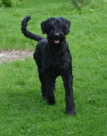 black giant: Cute Domestic dog Black Giant Schnauzer on green grass on a sunny day.