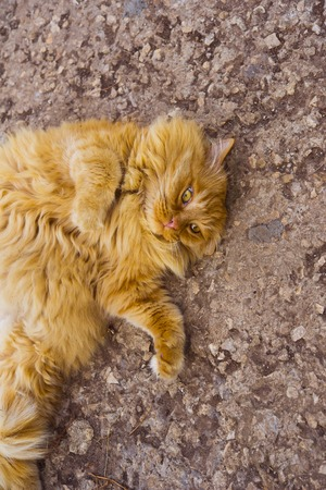 slog: red fat cat lies on the ground Stock Photo