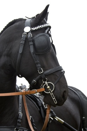 bridle: Black horse in harness with blinders on the eyes. Photographed in profile. Stock Photo